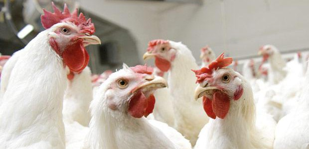 poules-blanches